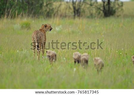 Airstock Is A Mother Cheetah Acinonyx Jubatus Walking In