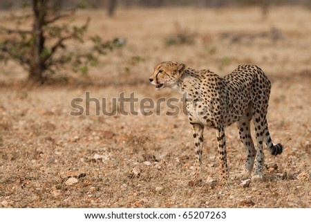 A mother cheetah on the hunt