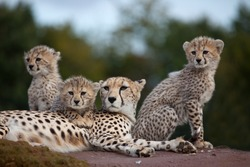 A mother Cheetah with three cubs sitting on a rock