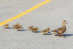 A mother duck leading her babies across a road on a bright sunny day. Yellow line in the center of the road. Seven baby ducks follow the mother.