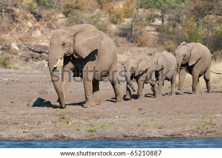 A mother elephant guides some calves through the riverbed