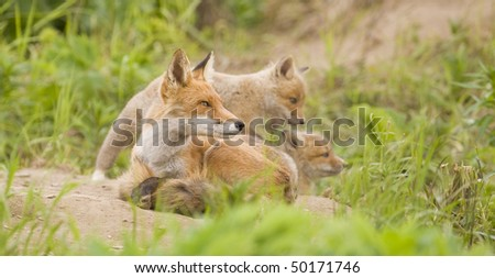 A mother fox awaits the return of her mate.