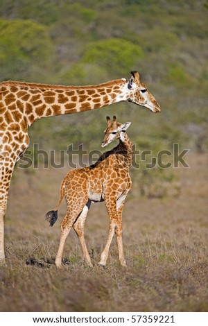 A mother Giraffe looks over its baby