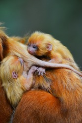 A mother Golden Lion Tamarin (Leontopithecus rosalia) and its three newborn on one of the small patches of remaining Atlantic coastal rainforest of Rio de Janeiro state, Brazil.