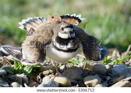 A mother killdeer, sitting on her eggs, puffs up into a defensive stance to defend her nest. Shallow dof