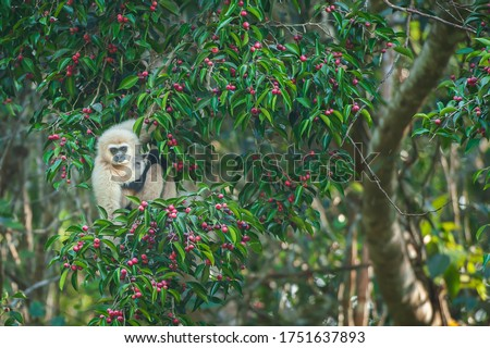 A mother Lar Gibbon or White-handed Gibbon with baby feeding on the figs tree, ripe fruits of fig in season, winter morning. Khao Yai National Park, Thailand, UNESCO World Heritage Site. stock photo