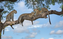 A Mother Leopard and two cubs in a tree