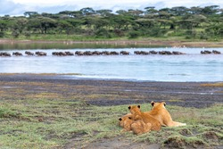 A mother lion and her cubs watch interested and attentive the wildebeest crossing the Lake Ndutu, Tanzania, Africa.