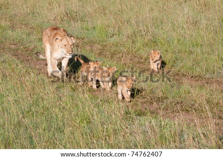 A mother lioness escorting her young cubs through Kenya's Masai Mara game reserve