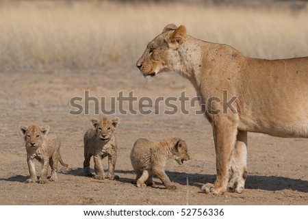 A mother lioness with three tiny cubs in the Kalahari, South Africa