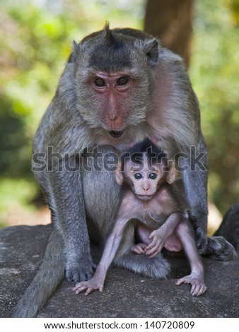 A mother Long-tailed Macaque watchfully protects her baby at Cambodia's Angkor Wat temple complex.