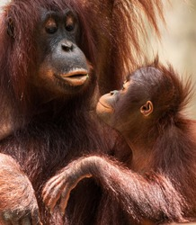 A mother orangutan is looking at her baby lovingly while he sits on her lap.