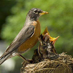 A Mother Robin caring for her babies in a nest, shallow depth of field, square crop, copy space
