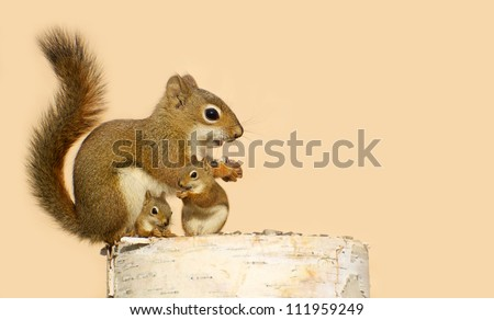 A mother squirrel and her two babies eating sunflower seeds on a birch log in the spring with copy space.\ Part of a  series.
