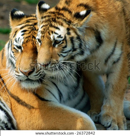 A mother tiger and her cub. - stock photo