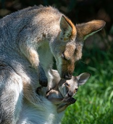 A mother wallaby and her joey at the Bunya Mountains National Park, Australia