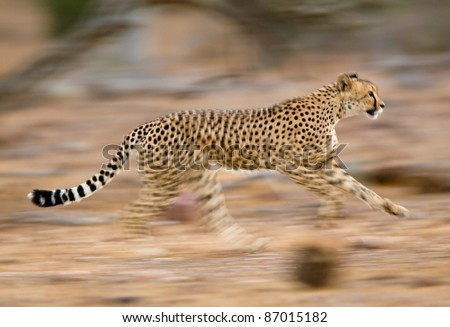 A motion blur photograph of a young cheetah running #87015182