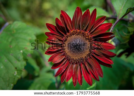 A moulin rogue sunflower up close showing off it's vibrant colors Photo stock ©