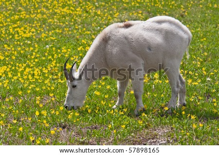 A mountain goat billy feeds on the green and yellow glacier lilies in Logan Pass, Glacier National Park, Montana.