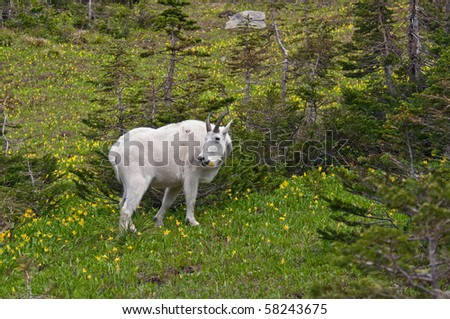 A mountain goat billy feeds on the green and yellow glacier lillies in Logan Pass, Glacier National Park, Montana.