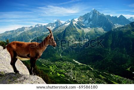 stock photo a mountain goat looks at the landscape 69586180 - Каталог — Фотообои «Животные»