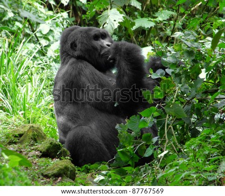 a Mountain Gorilla in the cloud forest of Uganda (Africa)