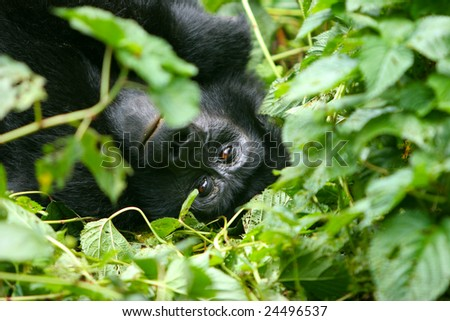 A mountain gorilla lays down on a bed of leaves and looks