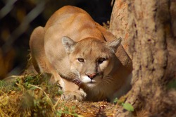 A mountain lion crouching down and staring.