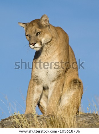 A Mountain Lion Sits on the Top of the Mountain