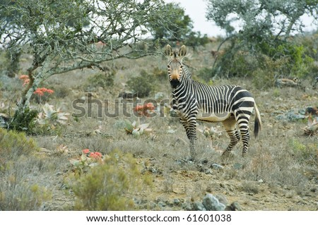 A Mountain Zebra Stallion stares at the camera