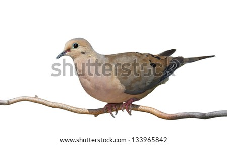 A mourning dove begins to rise off a branch. Full profile of bird, blue green skin around birds eye contrast against its tan and gray feathers. On a white background.