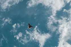 A Mourning Dove in flight high above in the blue sky on a cloudy but sunny day.