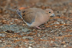 A Mourning Dove is foraging on the gravel path looking for seed. Also known as a Carolina Turtledove. Lynde Shores Conservation Area, Whitby, Ontario, Canada.