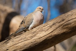 A Mourning Dove is resting on a dead tree trunk basking in the warm afternoon sun. Also known as a Carolina Turtledove. Taylor Creek Park, Toronto, Ontario, Canada.
