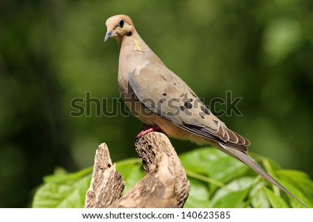 A Mourning Dove perched and posing for me near my bird feeder in Missouri.