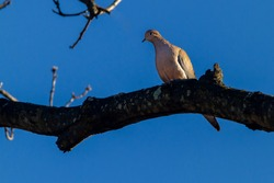 A mourning dove (Zenaida macroura) perching on a tree branch against blue sky. It looks down from the thick wood it perched on. A common game bird in USA