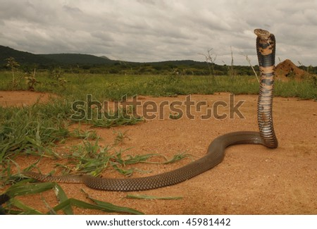 A Mozambique spitting cobra