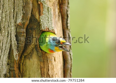 A muller's barbet in the hollow