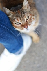 a multi-colored beautiful stray cat rubs against the leg of a person passing nearby. brown cat with beautiful eyes vertical photo
