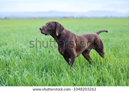 A muscular chocolate brown hound, German Shorthaired Pointer, a thoroughbred, stands among the fields in the grass in the point, sniffed the smell of a wild game. #1048203262
