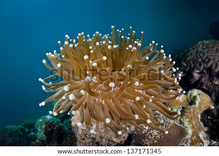 A mushroom coral (Heliofungia sp.) grows on a reef in Palau's lagoon.  This species does not fuse to the reef and is free living.