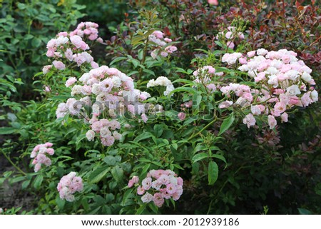 A musk rose shrub blooming in a summer garden. Charming little pink and white flowers in splendid bunches. It's name Heavenly Pink. It was bred in Belgium by Lens. Closeup, selective focus. Stock fotó ©