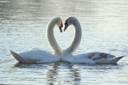A Mute Swan (Cygnus olor) and a juvenile Mute Swan forming a heart shape during a pairing dance.