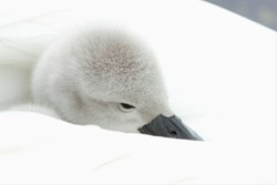 A Mute Swan (Cygnus olor) cygnet resting its head on its mother's feathers.