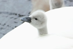 A Mute Swan (Cygnus olor) cygnet sticking its head out from beneath its mother's feathers.