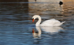 A Mute Swan (cygnus olor) in the Ziegeleipark, Heilbronn, Germany