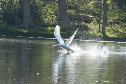 A Mute Swan (Cygnus Olor) taking off from a lake.