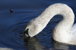 A mute swan dips its beak in the water on an autumn afternoon