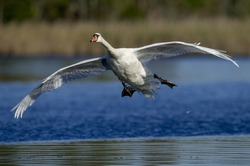 A Mute Swan glides in for a landing on bright blue water on a sunny day.