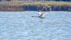 A mute swan in flight just after taking off from a lake. The mute swan, latin name Cygnus olor.